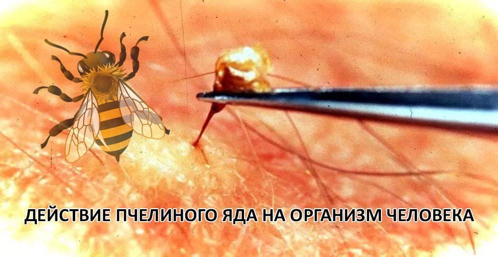 Действие пчелиного яда на организм человека