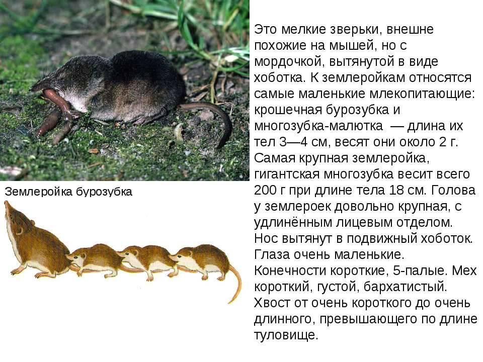 Землеройка бурозубка обыкновенная | мир животных и растений
