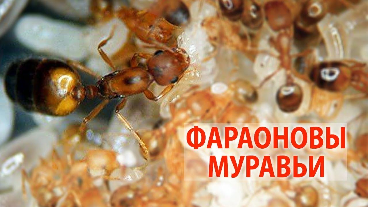 Фараонов муравей — википедия