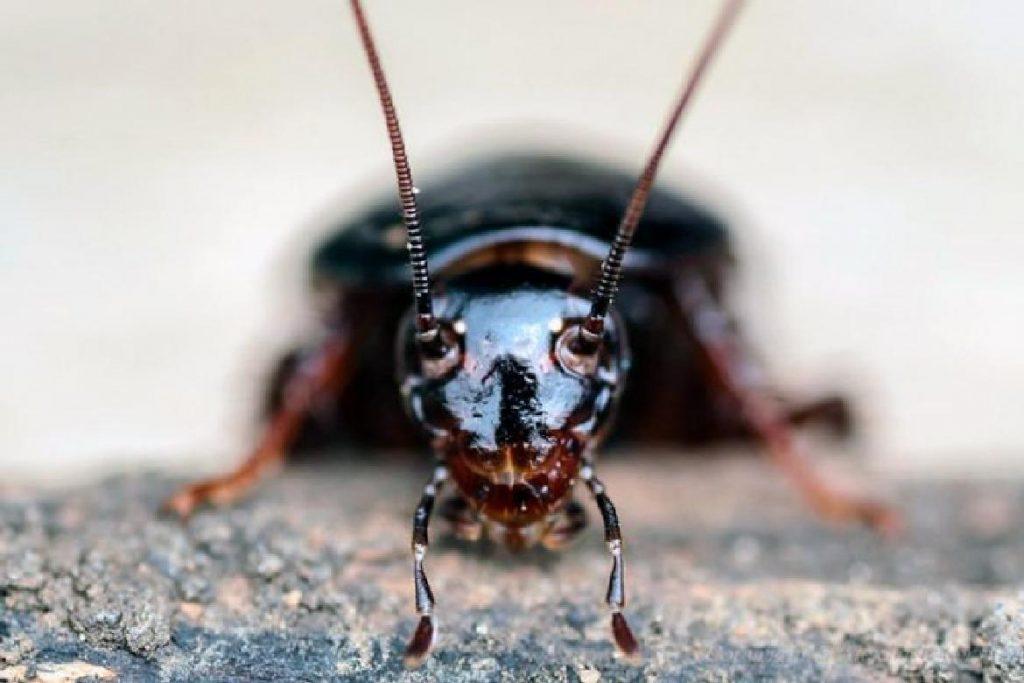 Черные тараканы: откуда они берутся и как от них избавиться?