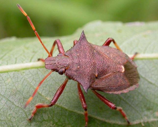 Жук вонючка: как выглядит и чем опасно насекомое