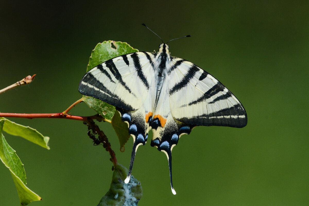 Подалирий (бабочка) — википедия. что такое подалирий (бабочка)