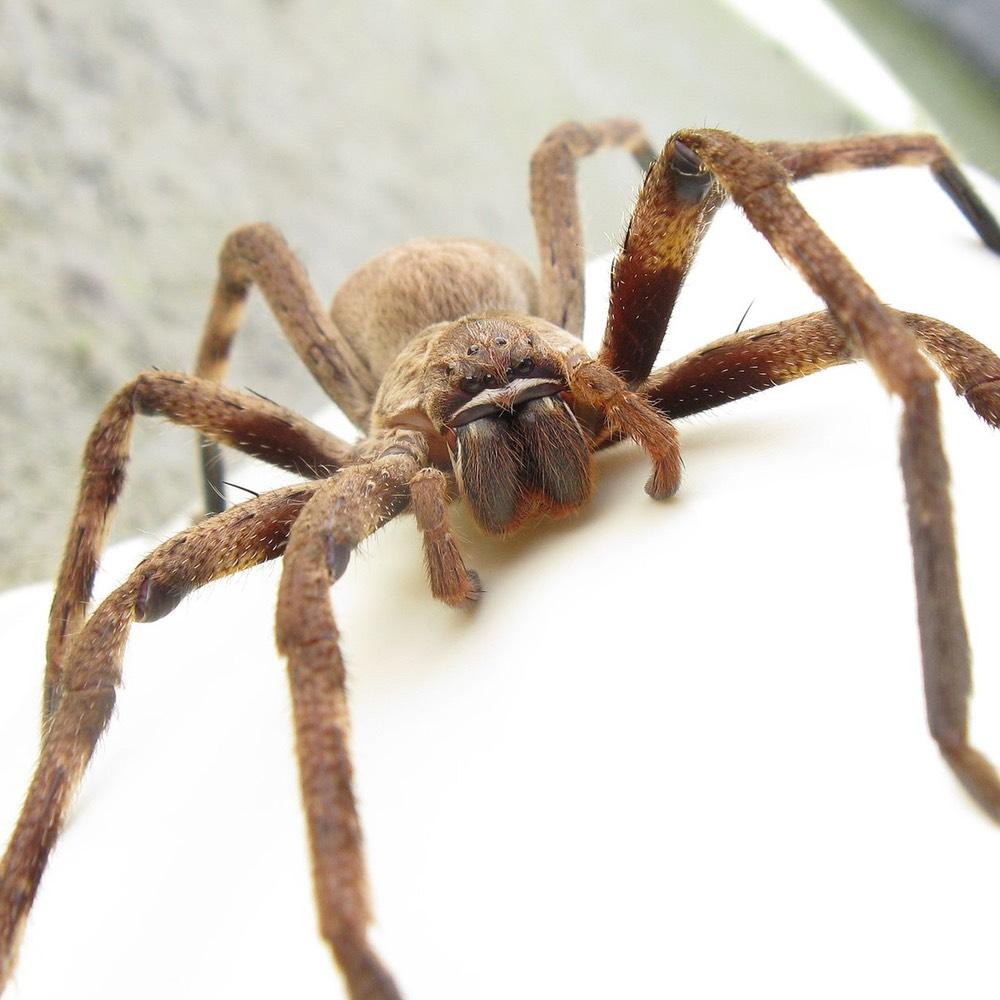 Где обитает гигантский крабовый паук, или паук егерь?
