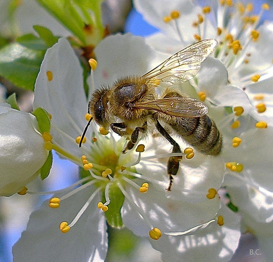 Пестряк пчелиный: вредитель или защитник ульев?