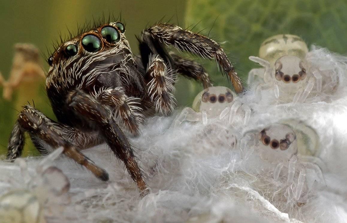 Паук-скакун – фото, описание, виды, питание, содержание, купить   golubevod.net