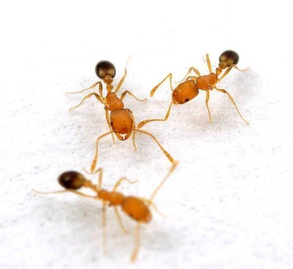 Фараоновы муравьи в квартире: как избавиться, лучшие средства