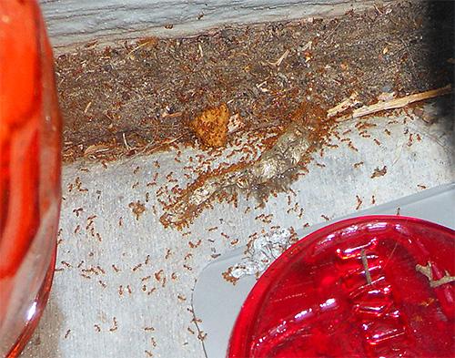 Матка муравья: как выглядит королева и как найти гнездо в квартире, фото и видео русский фермер