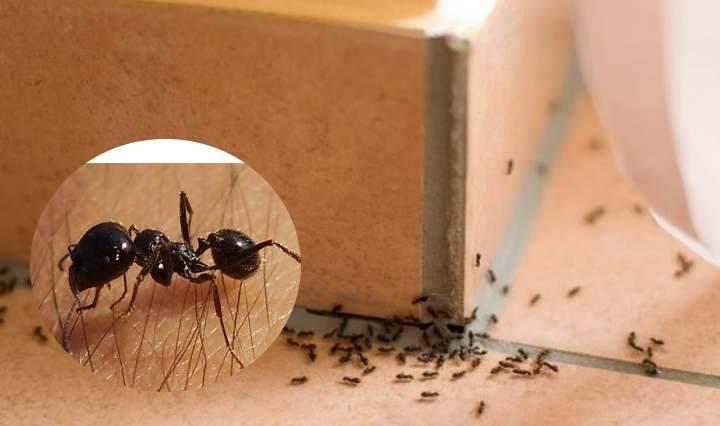 Прозрачные муравьи в квартире как избавиться от них?