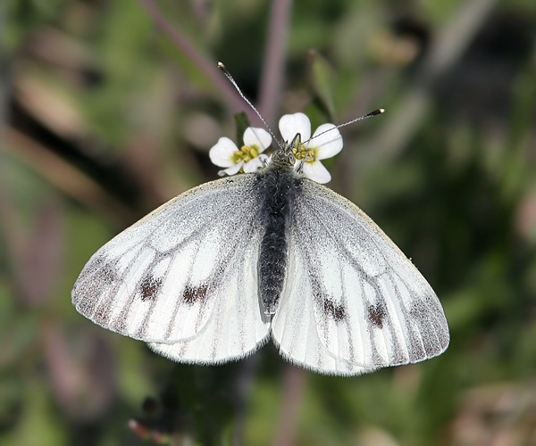 Бабочка многоцветница – фото и описание пестрой долгожительницы