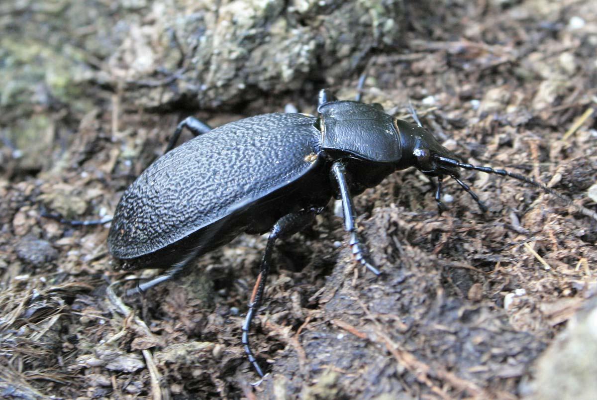 Жужелица насекомое. описание, особенности, виды, образ жизни и среда обитания жужелицы