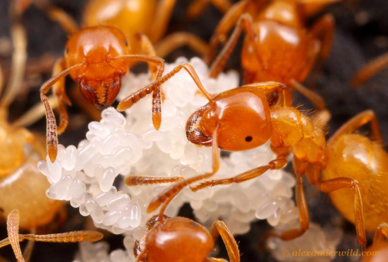 Lasius flavus | клуб любителей муравьев