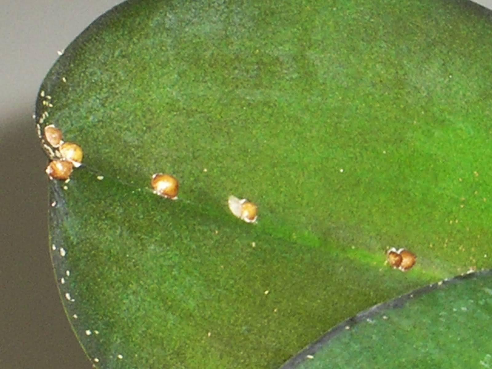 Тля на орхидеях: что делать с ней, как избавиться и вылечить растение, чем обработать цветок от этого белого вредителя, фото и видео по теме
