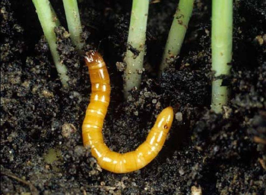 Избавление от проволочника в огороде навсегда: система из 10 шагов