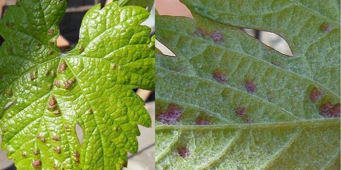 Как избавиться от паутинного клеща на винограде