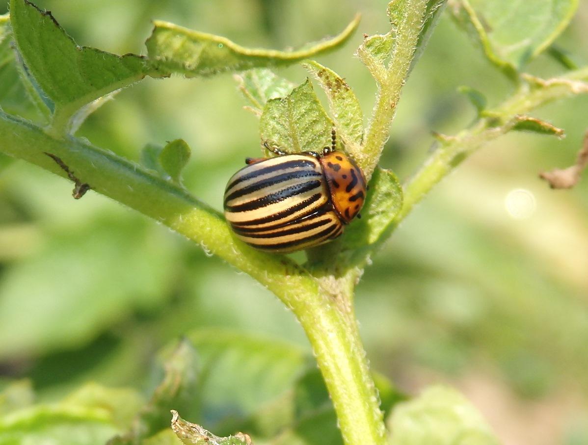 Колорадский жук — откуда взялся в россии? | насекомые | багира гуру