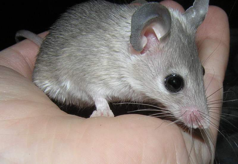 Какие бывают виды мышей