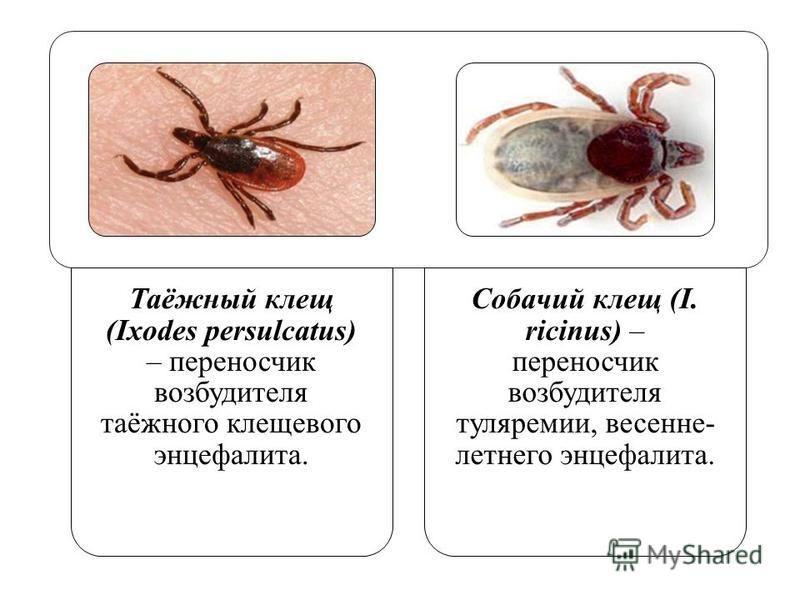 Таежный клещ: фото, описание, жизненный цикл и размножение, опасность для человека и животных (переносчиком каких заболеваний является)
