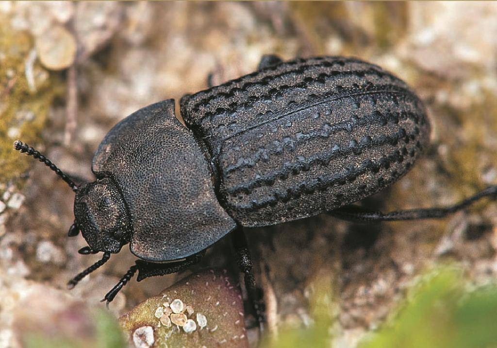 Малинный жук – способы борьбы, фото и описание