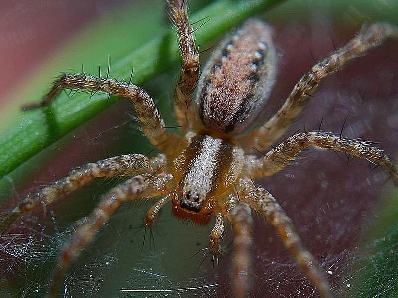 Домовый паук – фото и описание, где обитает