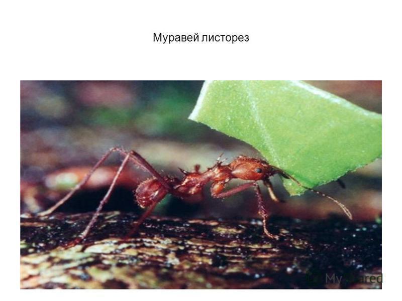 Муравьи-листорезы отличаются друг от друга по способностям к грибоводству