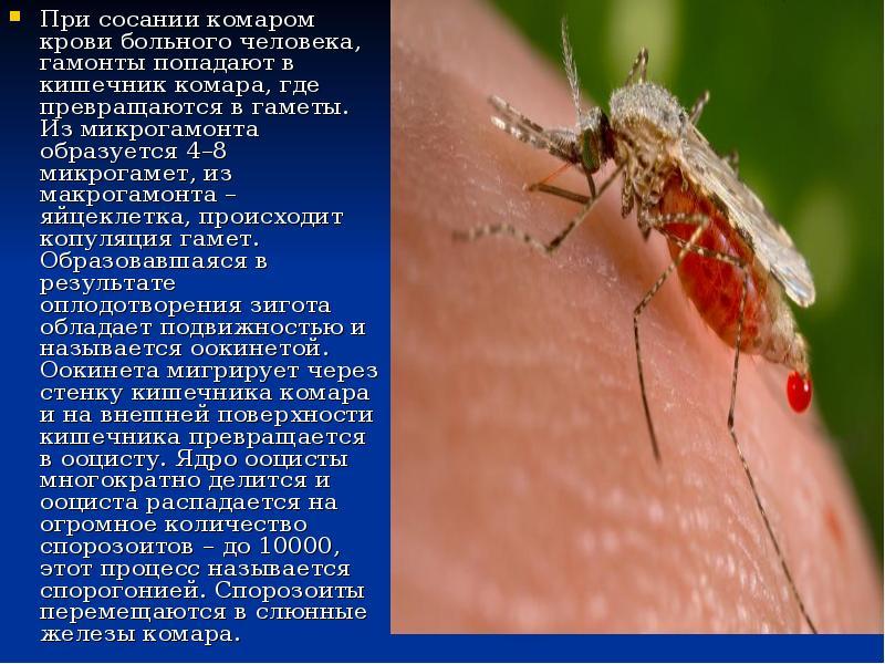 Анофелес или малярийный комар: фото, опасность для человека и как избавиться от насекомого