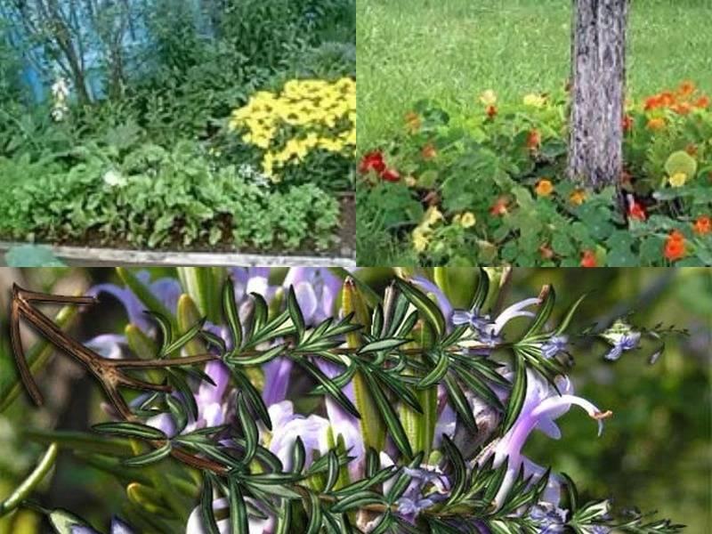 Растения, отпугивающие комаров и мошек: что посадить на дачном участке или в квартире
