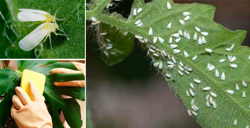 Как бороться с белокрылкой на домашних растениях