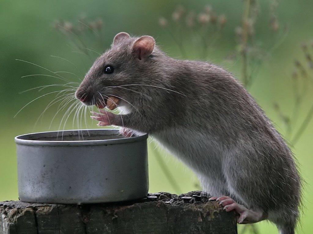 Чем кормить домашнюю декоративную крысу: чем питается и что из еды любит больше всего