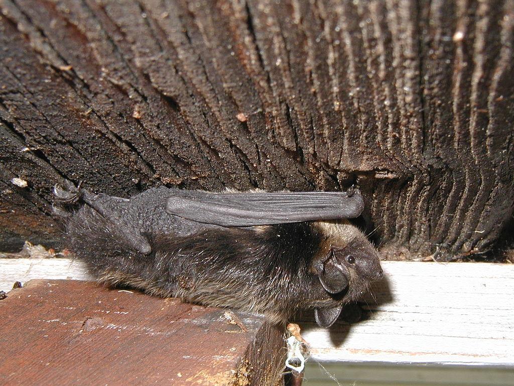 Как избавиться от летучих мышей под крышей дома: народные средства