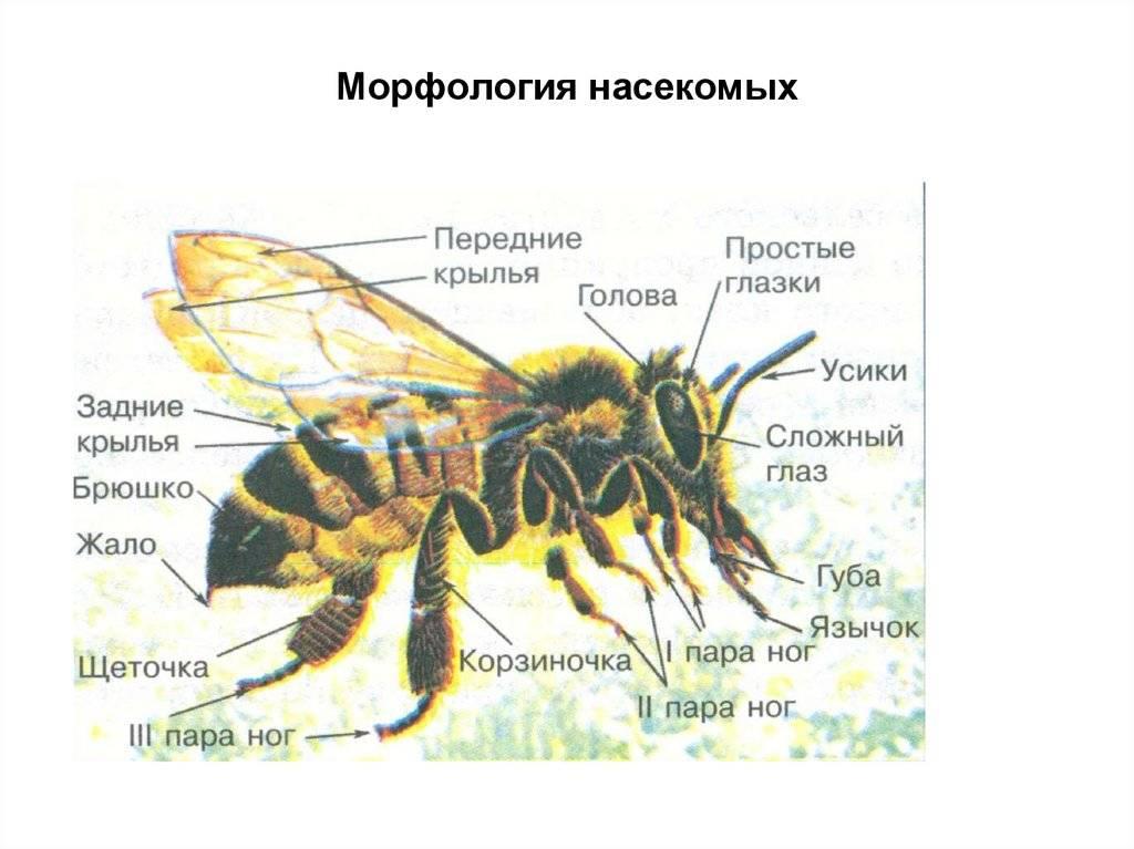 Оса – описание, виды, где обитает, чем питается, фото