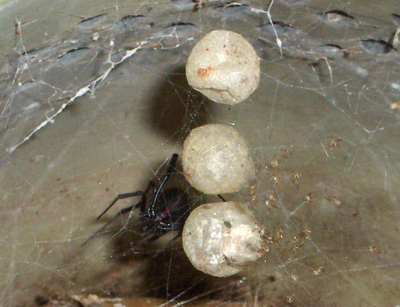 Виды домашних пауков, описание