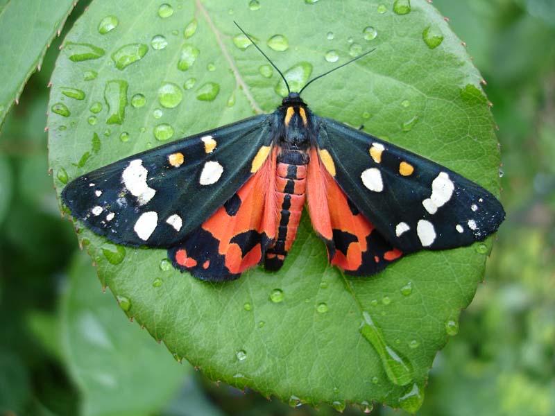 Бабочка адмирал - внешний вид, питание, размножение