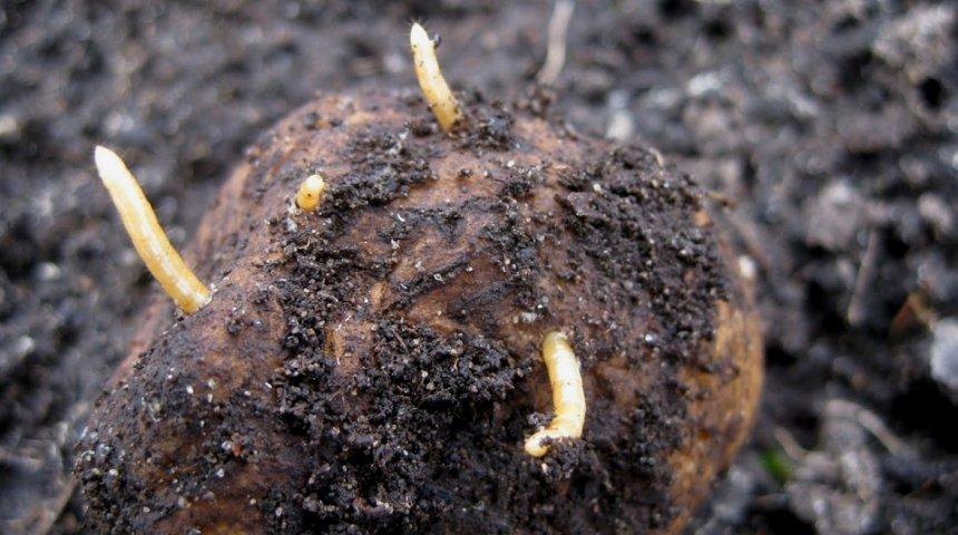 Как избавиться от проволочника на картофельном поле: народные и химические средства борьбы с вредителем
