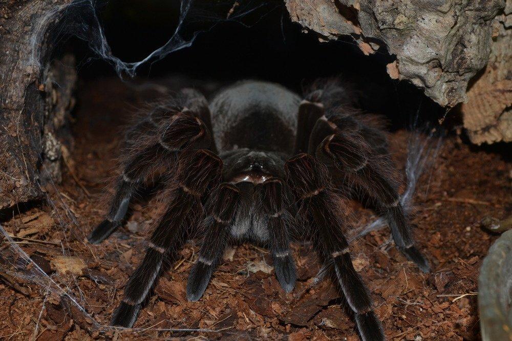 Самый большой паук в мире: его фото и название