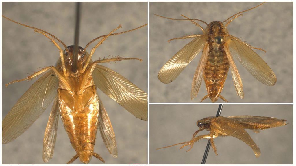 Летающие тараканы - правда или миф: есть ли у них крылья, умеют ли летать, фото