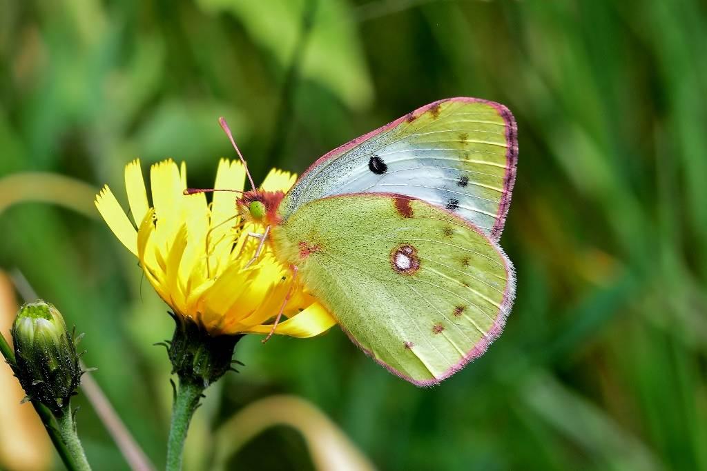 Бабочка желтушка — описание, среда обитания, виды