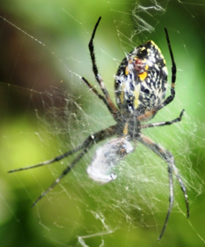 Паук крестовик сколько живет. как распознать паука-крестовика и насколько он опасен? внешний вид взрослой особи