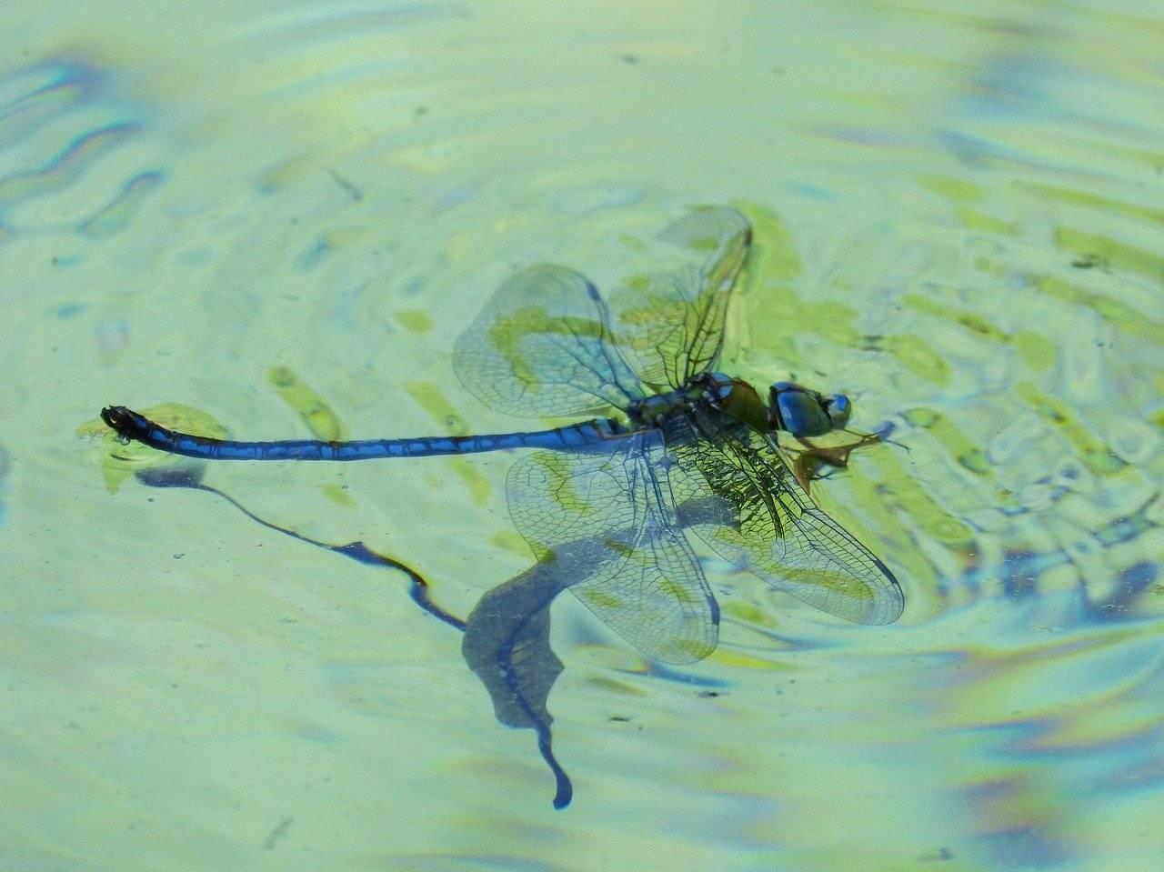 Черная стрекоза: маленькая представительница летающих хищниц