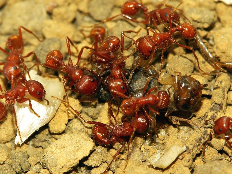 Чем опасны красные муравьи – способы борьбы с ними