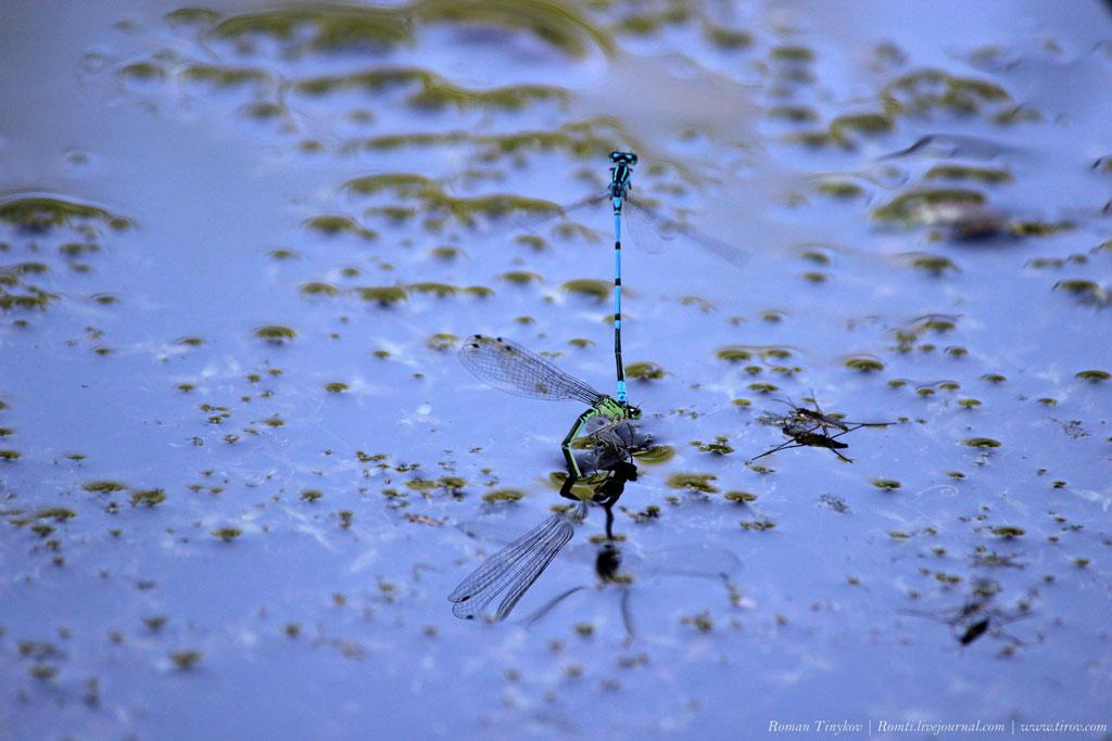 Стрекоза перевязанная - воздушная хищница европейских прудов