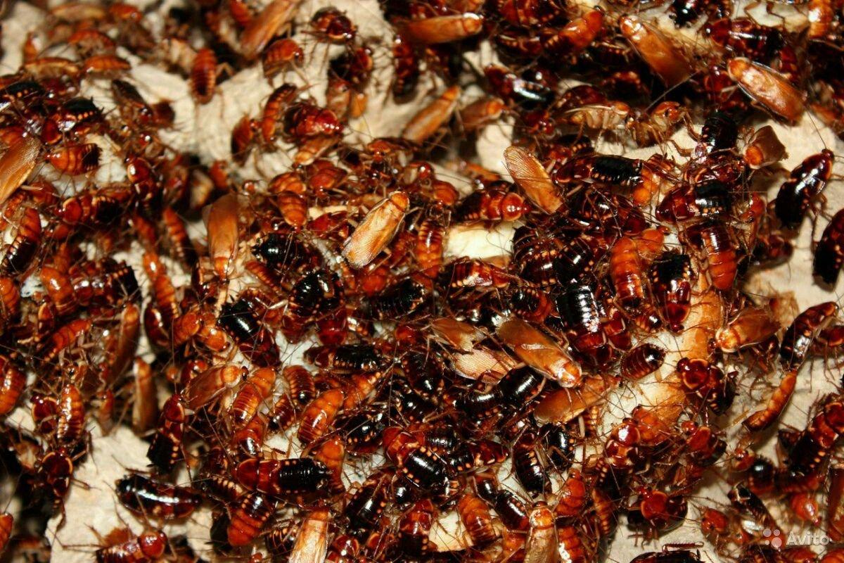 Разведение кормовых насекомых для певчих и насекомоядных птиц. аргентинский таракан: неприхотливый питомец или полезный корм?