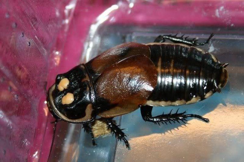 Самое большое насекомое в мире: фото и описание