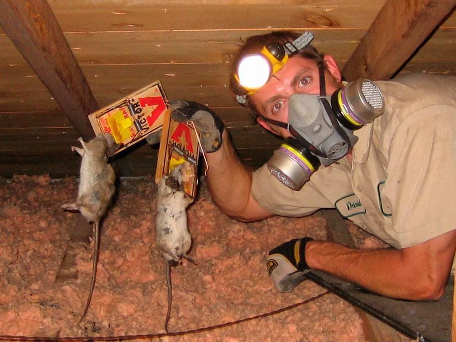 Лучшие способы избавиться от крыс в сарае: отравы, народные методы