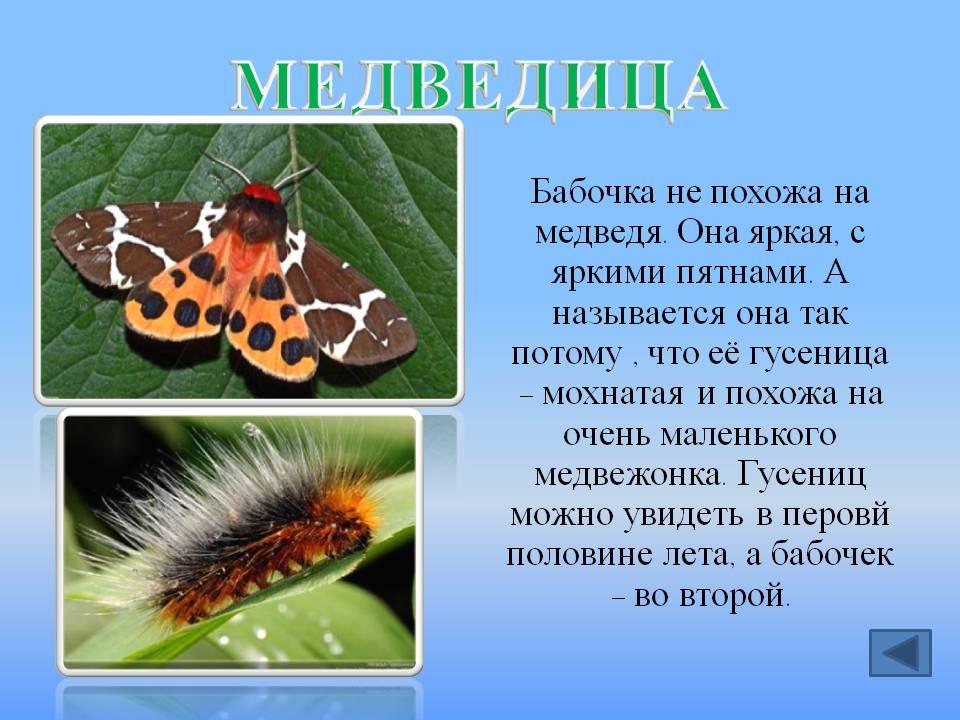Памятка схема выведения дома бабочки медведицы. описание и фото гусеницы медведицы кайя