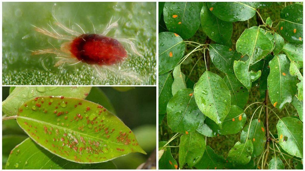 Чем обработать грушу от муравьев, если на ней поселилась тля