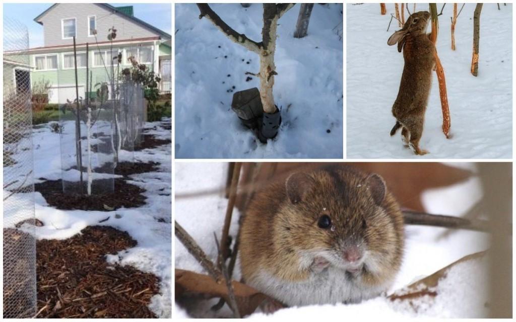 Как защитить яблони от мышей зимой: народные средства