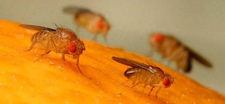 Как избавиться от луковой мухи на луке и мошек в квартире