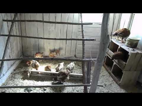 Почему хорьки не трогают по соседству кур. как быстро поймать дикого хорька или куницу в курятнике и как избавиться от хищника