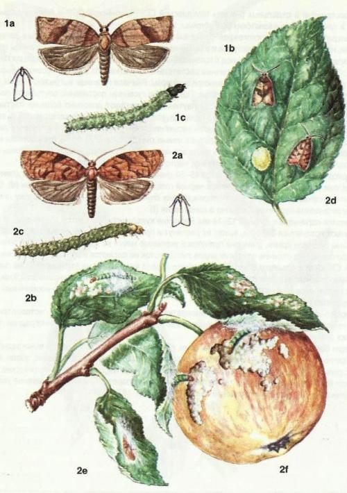 Листовертка на яблоне: как бороться?