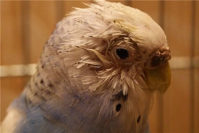 Блохи у волнистых попугаев: причины появления, способы лечения и меры профилактики